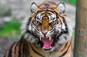 tigre_bengale