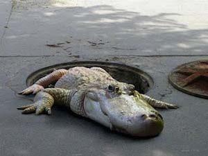 Crocodile_egouts_Paris_inondation_zoo_vincennes